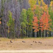 Rutting Elk Herd in Beautiful Fall Landscape
