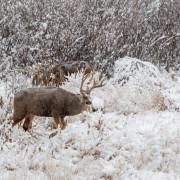 Mule Deer Buck in Snow During the Rut