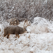 Mule Deer Buck in Snow During the Rut